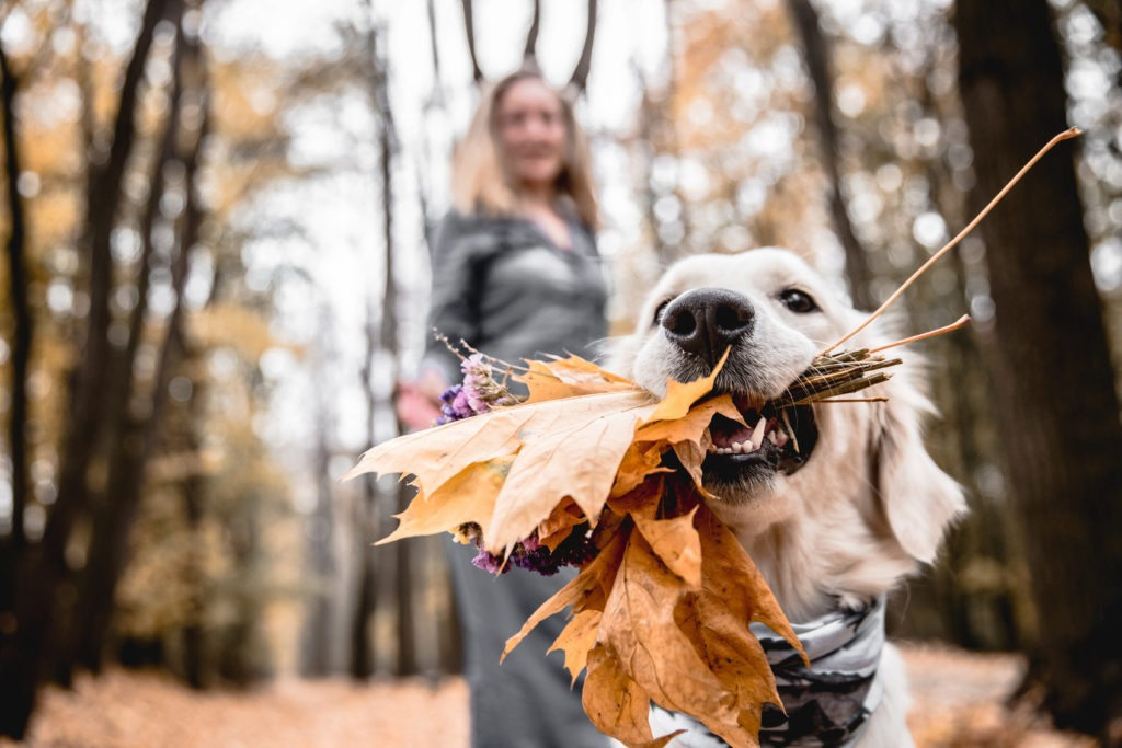 Golden retriever holding dried autumn leaves with owner in the background.
